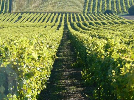 Rangs de vignes / © CDCHS V. Sabadel