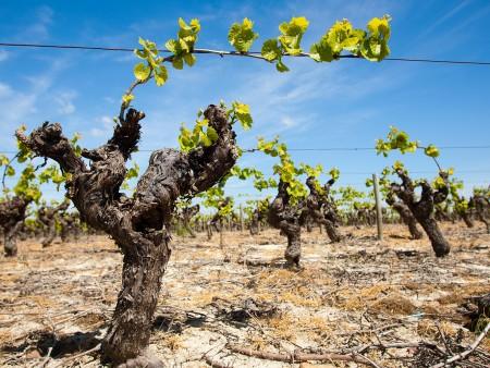 Le vignoble du Muscadet / © V. Joncheray