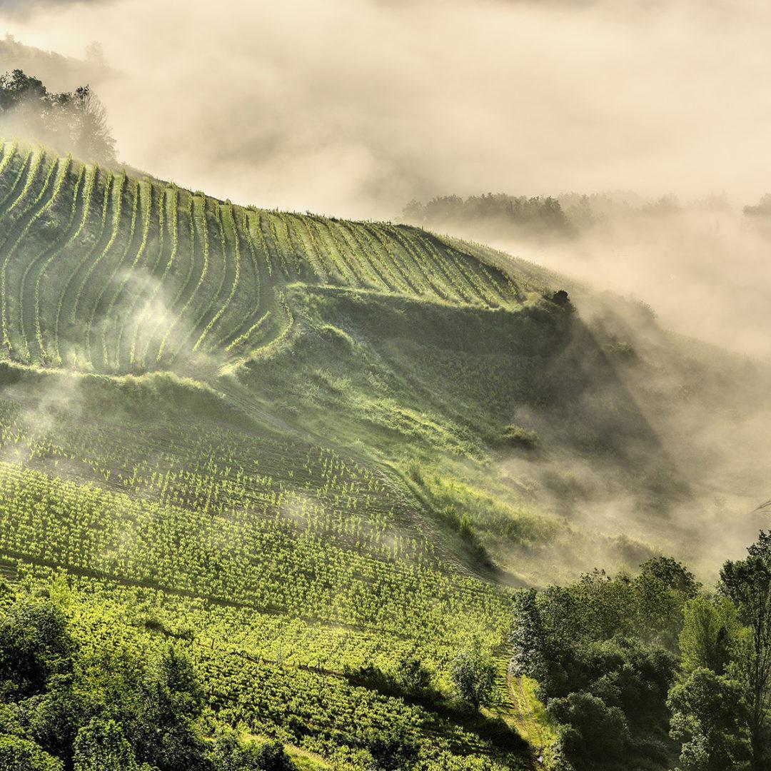 Vignes dans la brume : G.Tordjeman