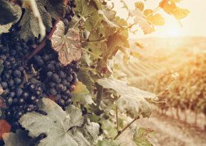 Iter Vitis, uva rossa